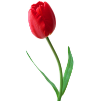 Tulip Png Image PNG Image