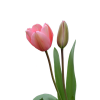 Tulip Bud PNG Image