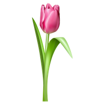 Tulip Free Download Png PNG Image