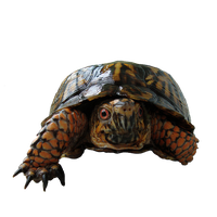 Box Turtle Photos PNG Image