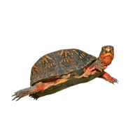Box Turtle Hd PNG Image