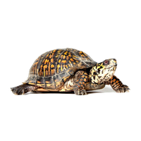 Box Turtle File PNG Image