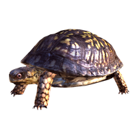 Box Turtle Free Download PNG Image