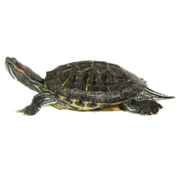 Box Turtle Transparent Image PNG Image