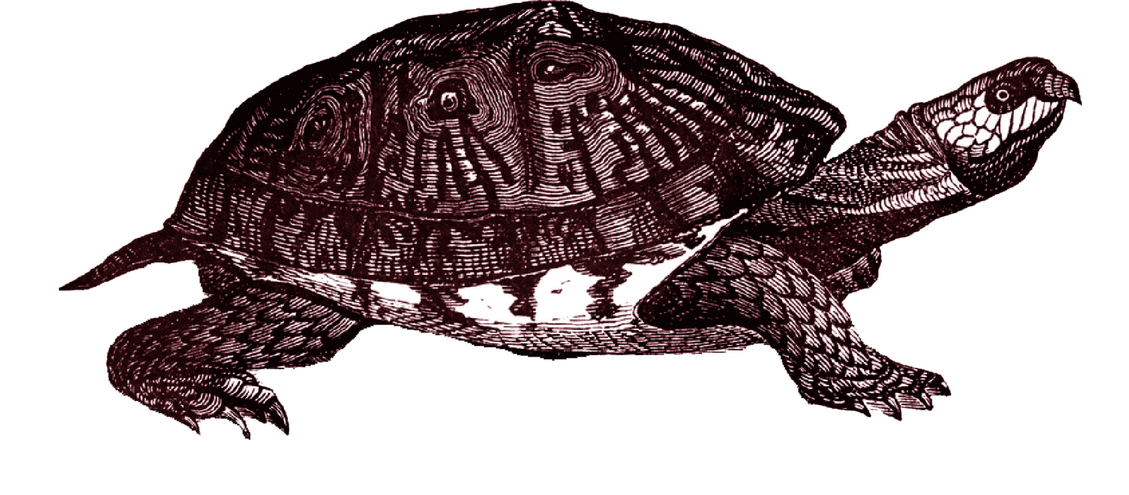 Box Turtle Clipart PNG Image