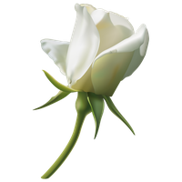 Download White Rose Free Png Photo Images And Clipart Freepngimg