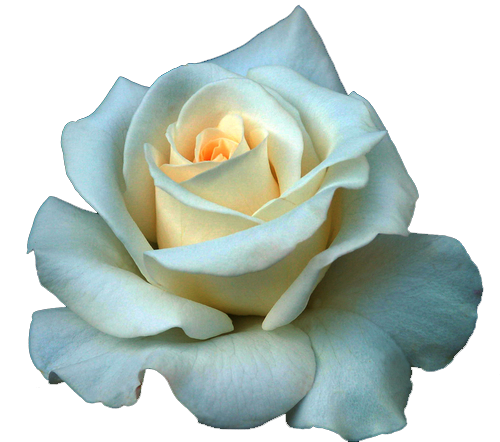 Full Grown White Rose PNG Image