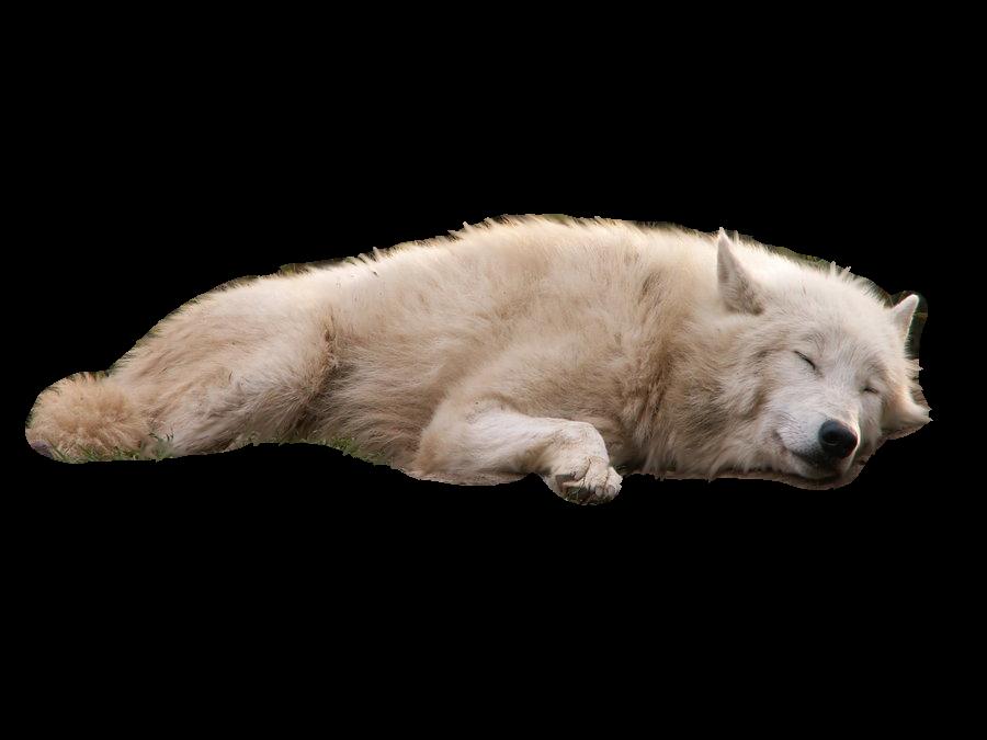 Download Wolves White Background Transparent Hq Png Image Freepngimg