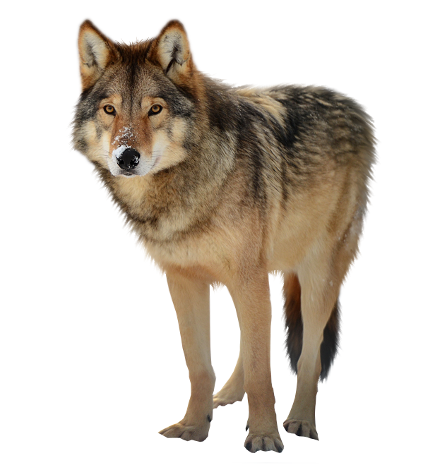 Timber Wolf PNG Image