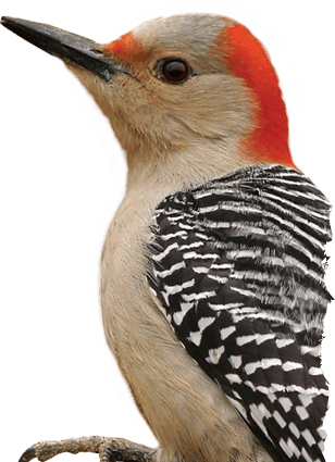 Woodpecker Png PNG Image